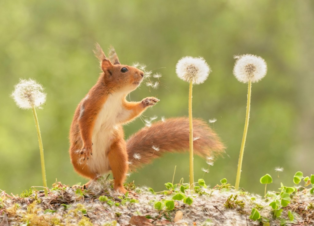 red squirrel looks at a dandelion with flying seeds