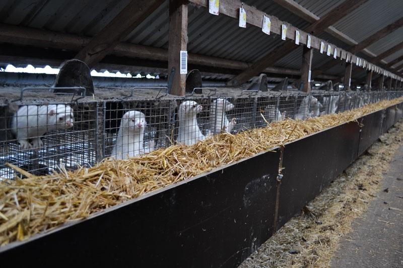 デンマークのミンク農場